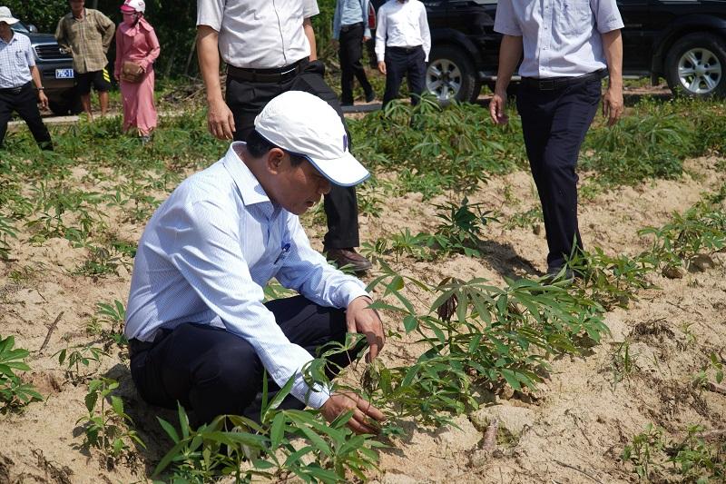 UVTV Tỉnh ủy, Phó chủ tịch UBND tỉnh Nguyễn Văn Phương kiểm tra tình hình bệnh khảm lá sắn tại thị xã Hương Trà